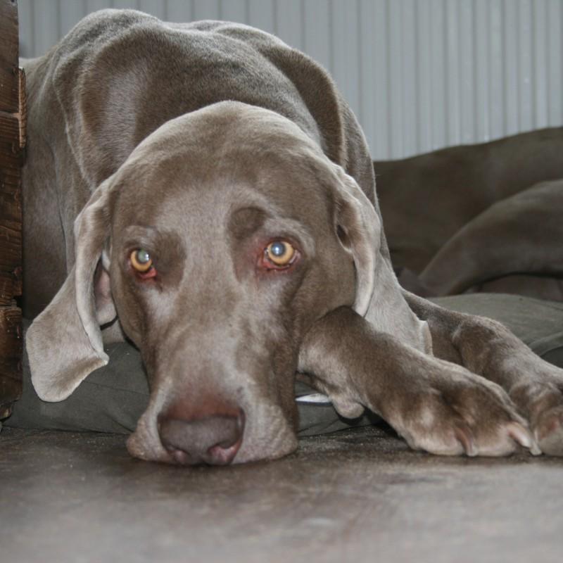 Osteopathie voor honden
